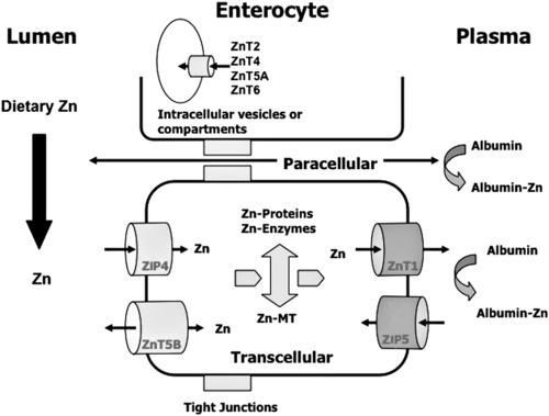 absorption zinc