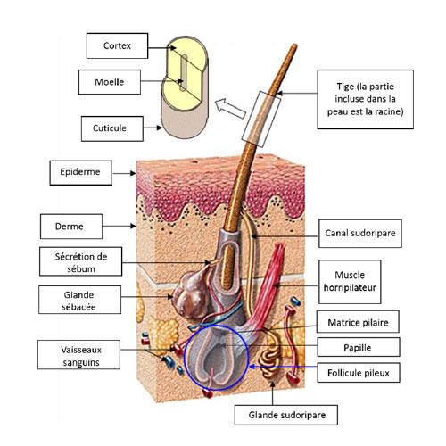 Structure-cheveu