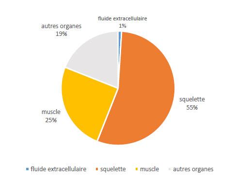 distribution-du-magnesium-dans-l'organisme