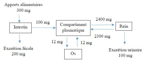 métabolisme-du-magnesium-dans-l'organisme